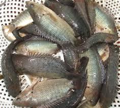 Cá rô đồng Thái Bình