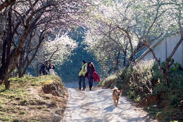 Hoa mận và hoa đào nở ở Mộc Châu