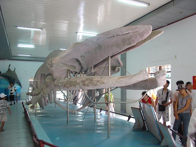 Bộ xương cá khổng lồ tại Viện Hải dương học Nha Trang